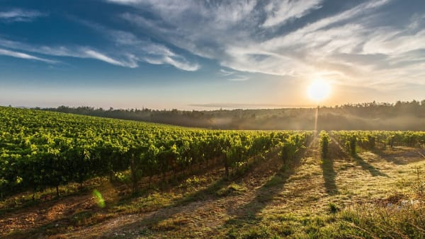 Image shows sunrise over a vineyard with the sun beaming over the grass